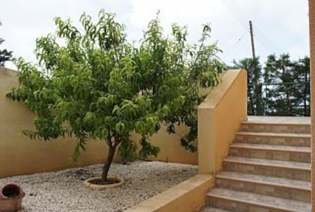 The garden has peach plum and lemon trees