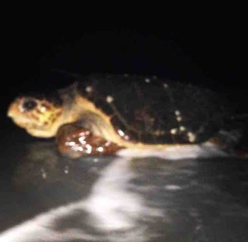 Sea turtle nesting season  begins march 1 and ends october 31 an amazing event to see just dont disturb