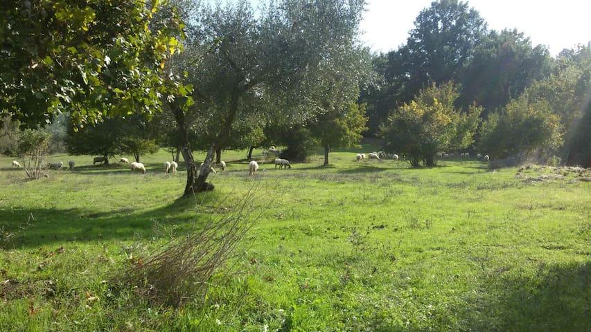 Le pecore al pascolo