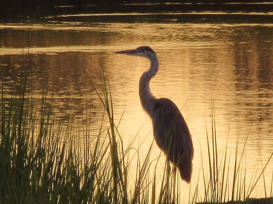 The Great Blue Heron! We have lots of these wonderful birds and MANY others!