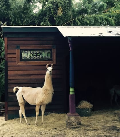 """Dali the Llama strikes a pose by our barn built with vintage cedar, antique trim, and 1800s stained glass.  She's our resident """"unicorn."""""""