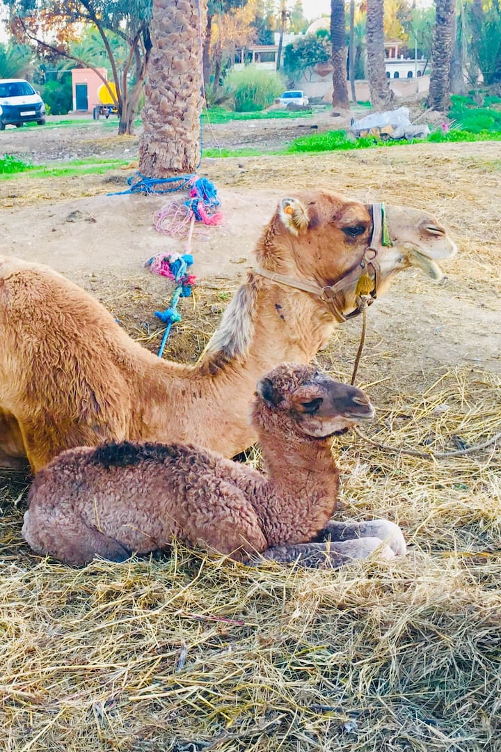 A new born baby camel