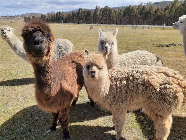 Cute alpacas want to meet you.  family room