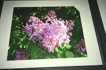 Lilacs in Full Bloom $30