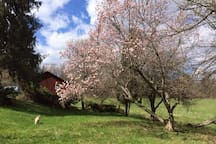 Lower terrace with the Magnolia in full bloom.  1850 garage in the background, as well as the east pasture.