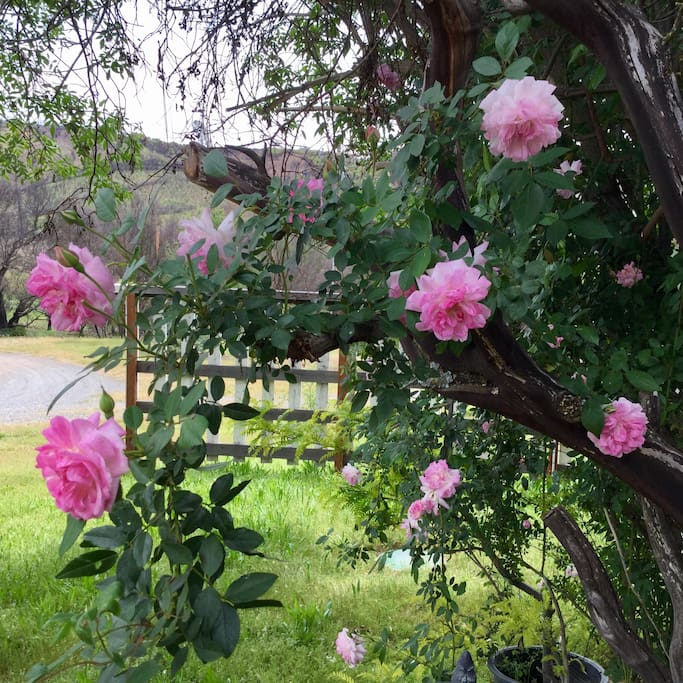 Climbing roses in springtime as you approach our front door.