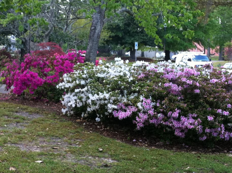 Greenfield's Azaleas in bloom.