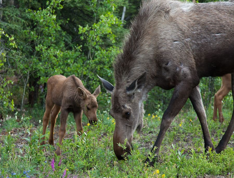 Watch for moose around the neighborhood and trails!