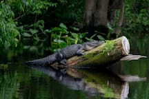 Lazy gator snoozing