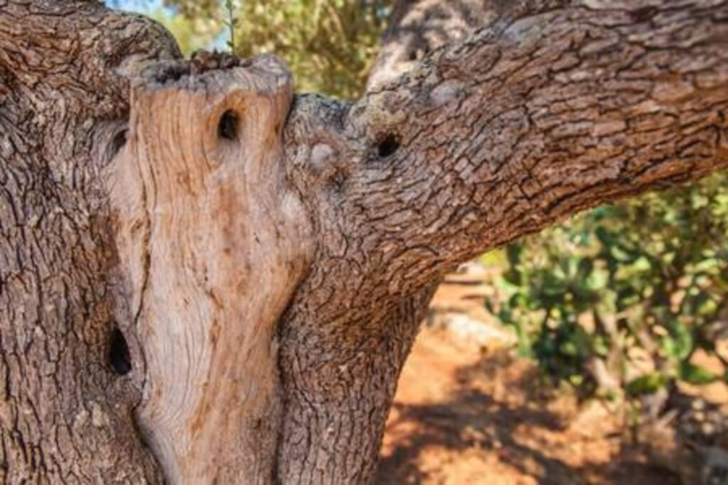 Olivi centenari