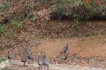 Wild Turkeys come and go as they please...