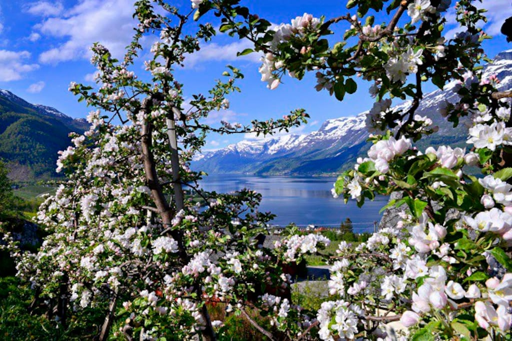 Appel tree blooming