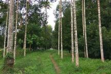 Arecanut trees in farm
