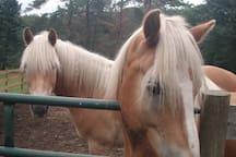Haflinger horses!