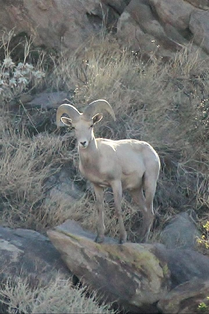 Peninsular Bighorn Sheep near trail