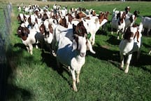 Come and meet our friendly Boer goats