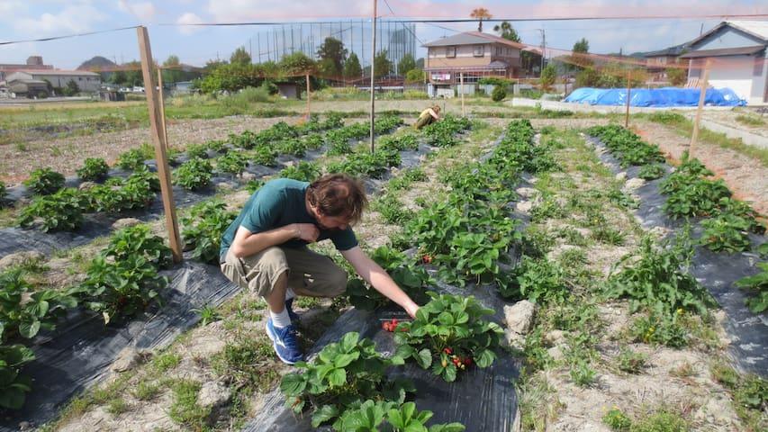 Strawberry garden, 草莓菜园
