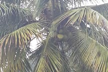 The Tree of Life.... Coconut Tree