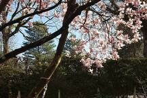 Calme et repos sous le magnolia fleuri