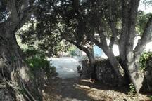 500 old stone oak tree allee...
