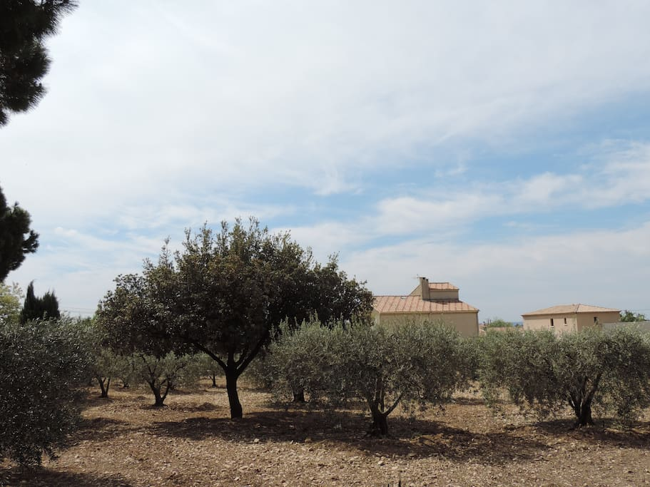 Nos oliviers familiaux