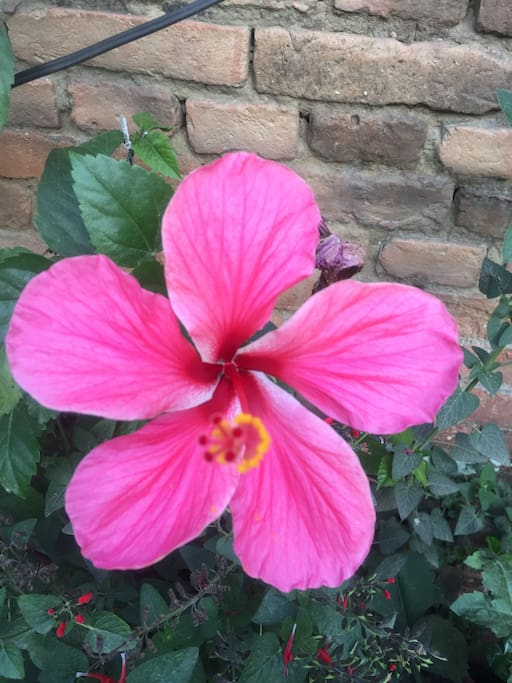 Hibiscus flower in d Garden