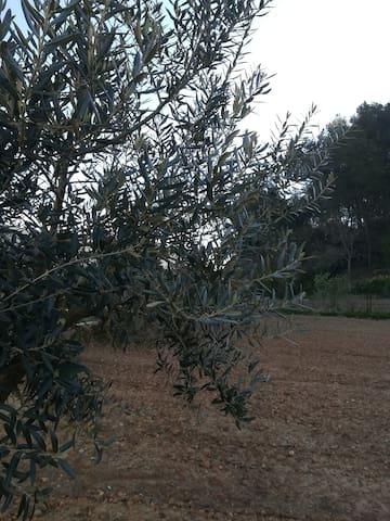 Un olivier du jardin