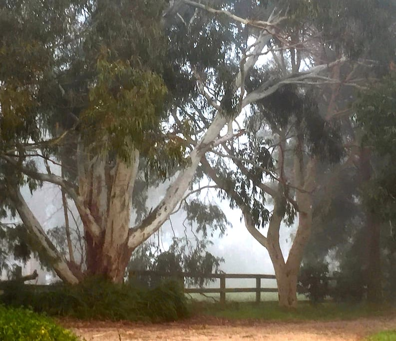 Lovely old Australian Eucalypts