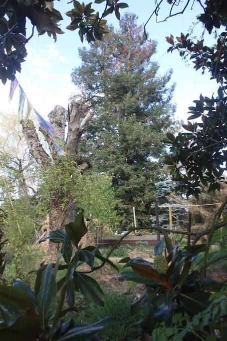 Une partie du jardin avec le séquoia.