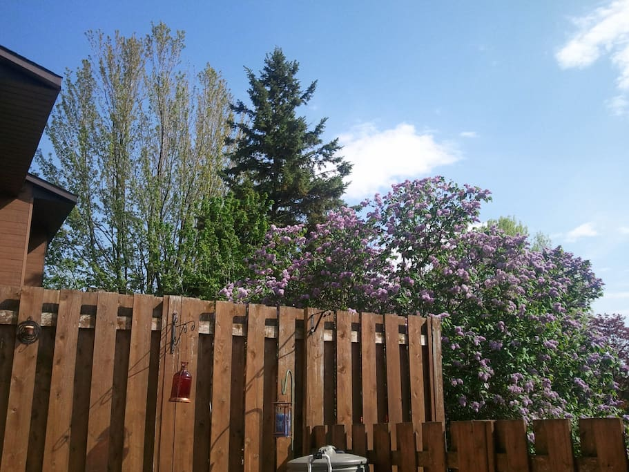 Fenced in cozy backyard. Sweet smelling lilacs in the warm months.