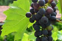 Ripening grapes ......