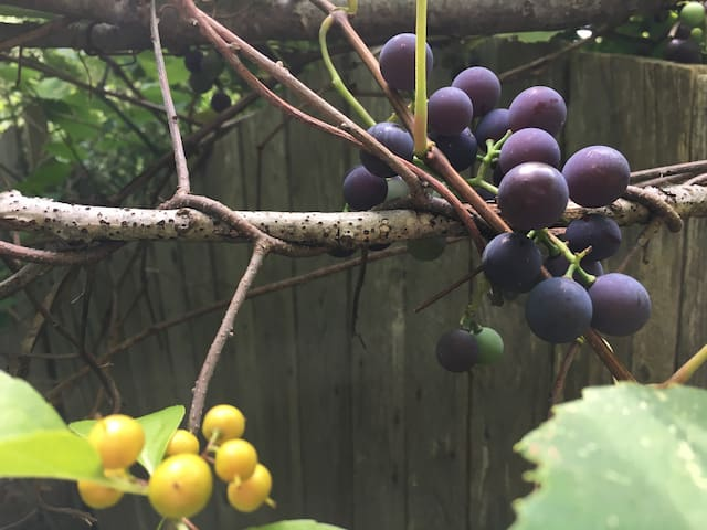 Concord Grapes in August..