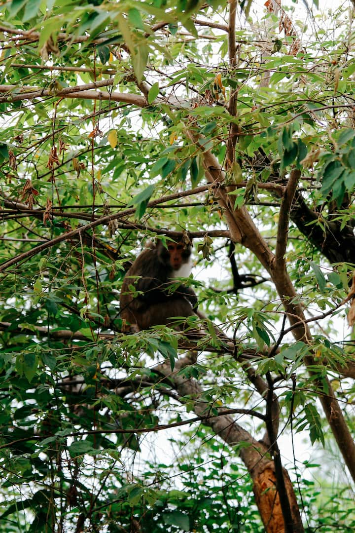 Monkey on Son Tra Peninsula
