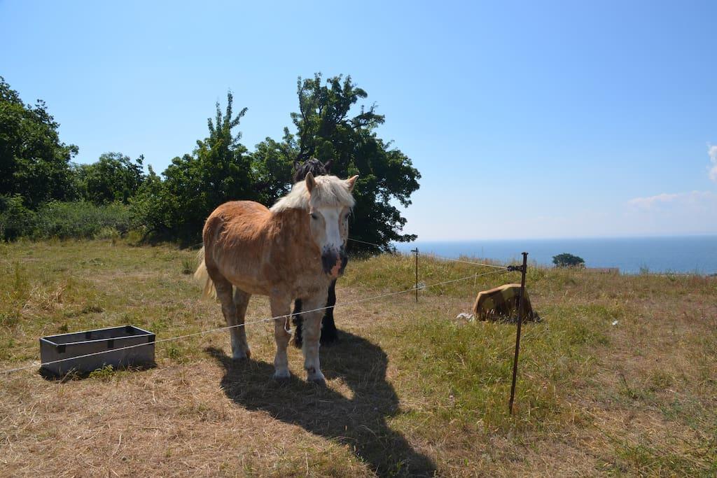 Pferdewiese, Klein Zicker ist ein kleines Fischerdorf mit Pferden, Kühen und Schafen.
