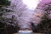 Cherry blossom at Hokkaido shrine