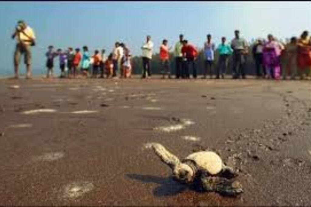 Velas Turtle Festival