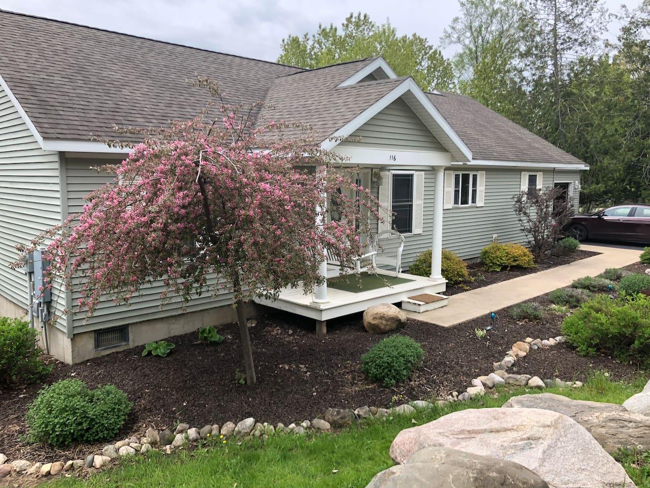 Flowering weeping cherry-spring 2019