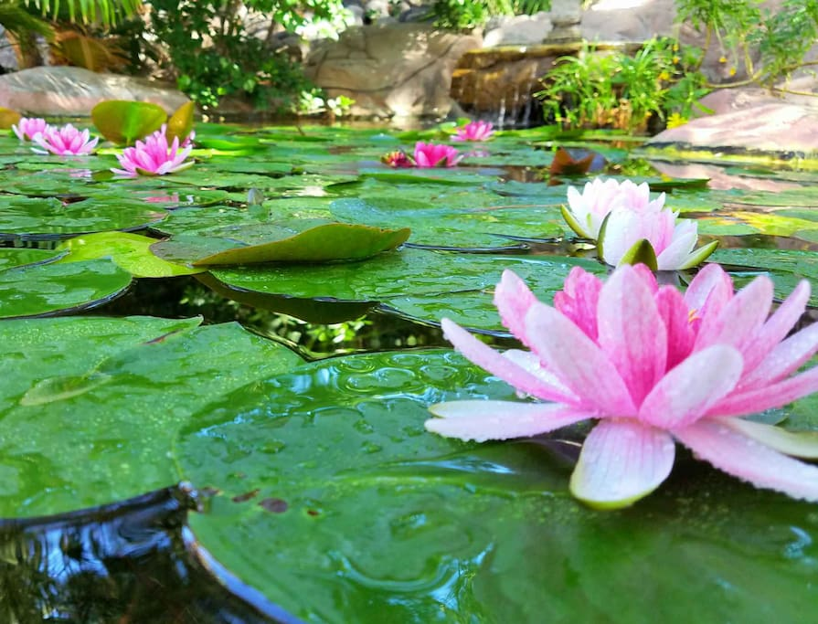 Lily Pond blooms Spring to Fall