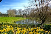 Daffodils by the duck pond