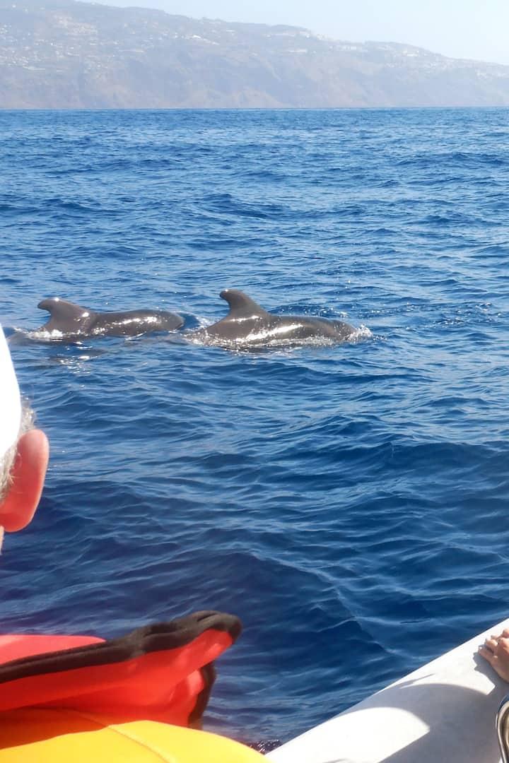 Pilot Whales - Globicéphales