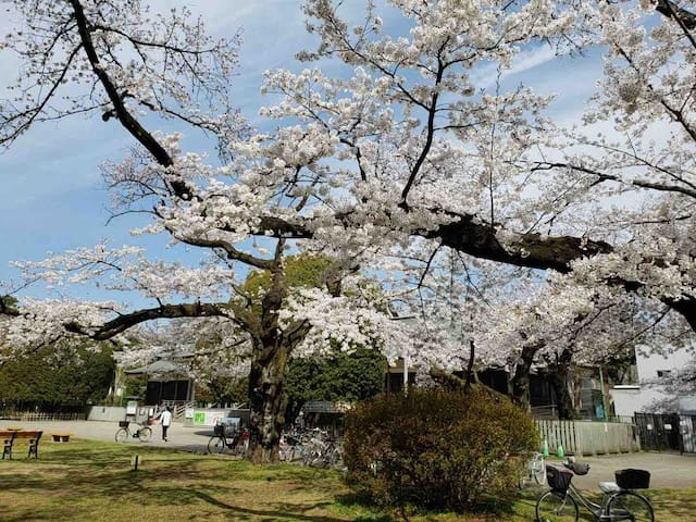 小金井公園の桜 Cherry blossoms in Koganei Park Late March to early April