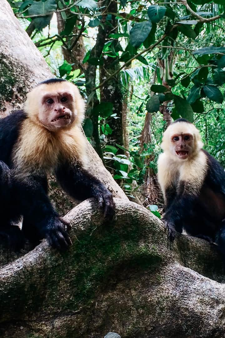 Beach Mafia!!! Capuchin Monkeys!