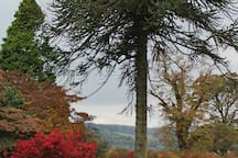 Monkey puzzle tree in Balloch Country Park