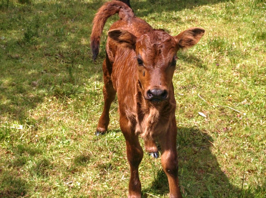 New calf born June 16th, 2016!