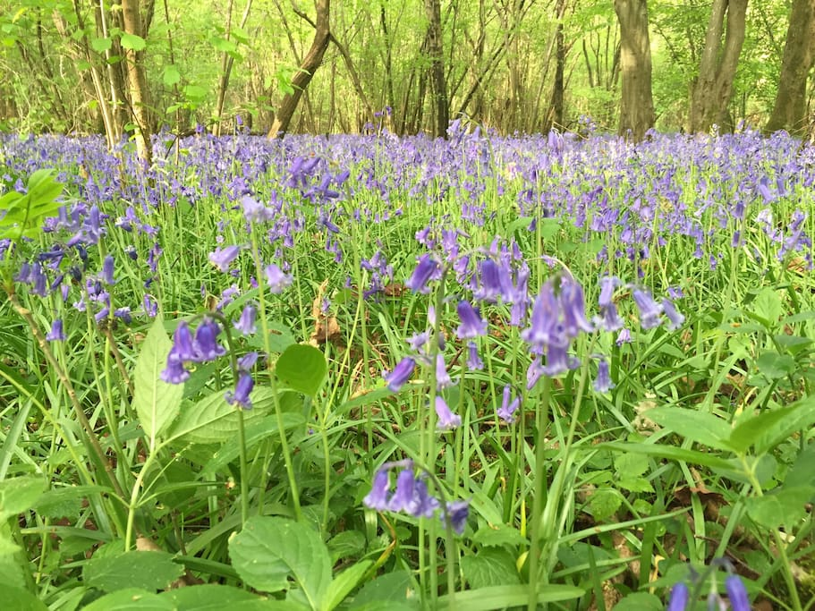 Bluebells at their best in May