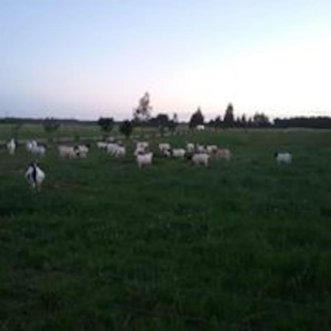 Goat additions!!