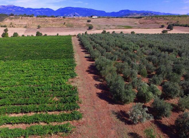 Vineyard and olive grove in summer time