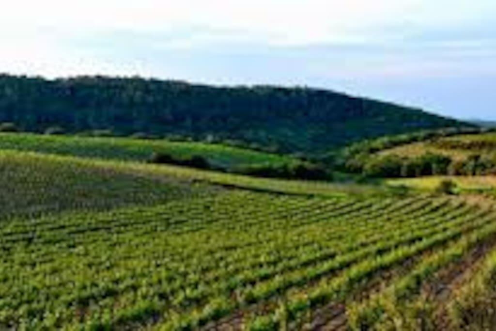 Le faugères est un vin d'appellation d'origine contrôlée produit sur les collines de l'Hérault, à 20 kilomètres au nord de Béziers...