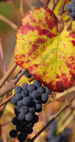 Cepages Pinot Noir