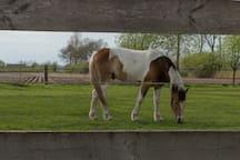 Dieren manieren op de `boerderij Criollo Horse